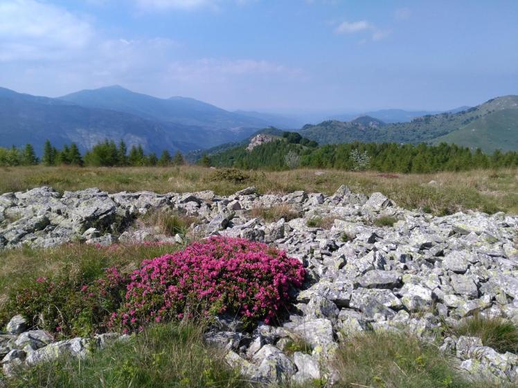 Rododendri-Armetta